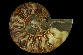 "Buy 4.95"" Agatized Ammonite Fossil (Half) - Madagascar - #139651"