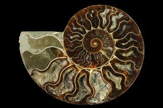Cleoniceras - Fossils For Sale - #139665