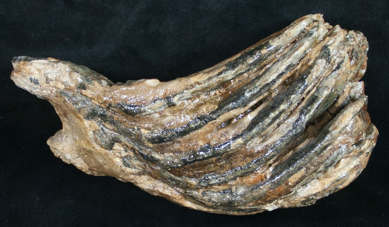 Partial Woolly Mammoth Molar - North Sea