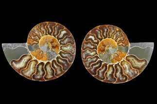 "Buy 4.2"" Agatized Ammonite Fossil (Pair) - Madagascar - #139723"