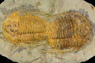 Buy Two, Large Hamatolenus vincenti Trilobites - Tinjdad, Morocco - #139771