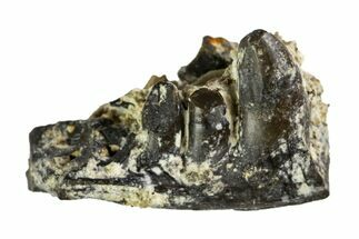 Unidentified Reptile  - Fossils For Sale - #140100