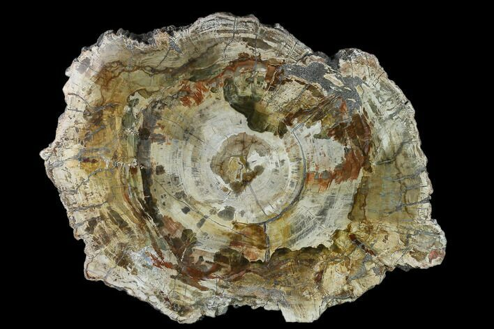 "12.8"" Colorful Petrified Wood (Araucaria) Round - Madagascar"