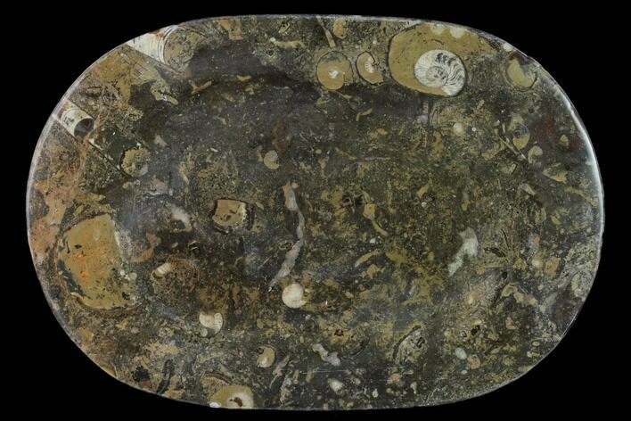 "13.2"" Fossil Orthoceras & Goniatite Oval Plate - Stoneware"