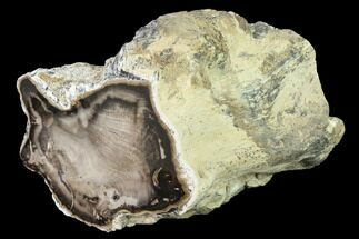 "5.8"" Petrified Wood (Spruce) Limb Section - Eagle's Nest, Oregon For Sale, #141053"