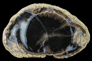 "Buy 4.5"" Petrified Wood (Schinoxylon) Slab - Blue Forest, Wyoming - #141304"