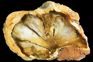 "Buy 9.6"" Wide, Polished Petrified Wood Section - Saddle Mountain, WA - #141478"