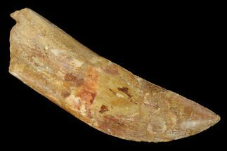 "4.03"" Carcharodontosaurus Tooth - Real Dinosaur Tooth For Sale, #141812"