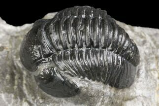 ".85"" Detailed Gerastos Trilobite Fossil - Morocco For Sale, #141686"