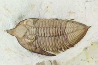 "Buy 1.6"" Huntonia Trilobite - Black Cat Mountain, Oklahoma - #142072"