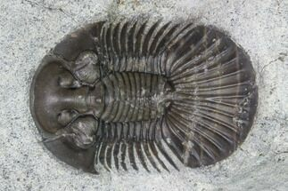 "1.45"" Scabriscutellum Trilobite - Morocco For Sale, #142184"