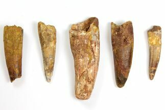 "Buy Wholesale Lot: 2.7 to 4.1"" Bargain Spinosaurus Teeth - 5 Pieces - #141562"