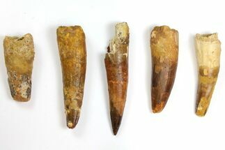 "Buy Wholesale Lot: 2.7 to 4.6"" Bargain Spinosaurus Teeth - 5 Pieces - #141565"