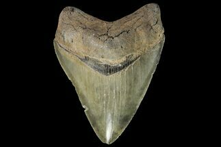Carcharocles megalodon - Fossils For Sale - #142356