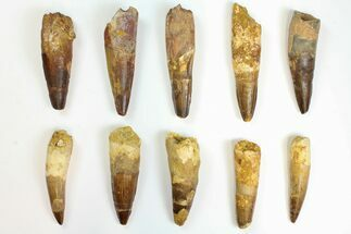 "Buy Wholesale Lot: 2.8 to 3.7"" Bargain Spinosaurus Teeth - 10 Pieces - #141493"