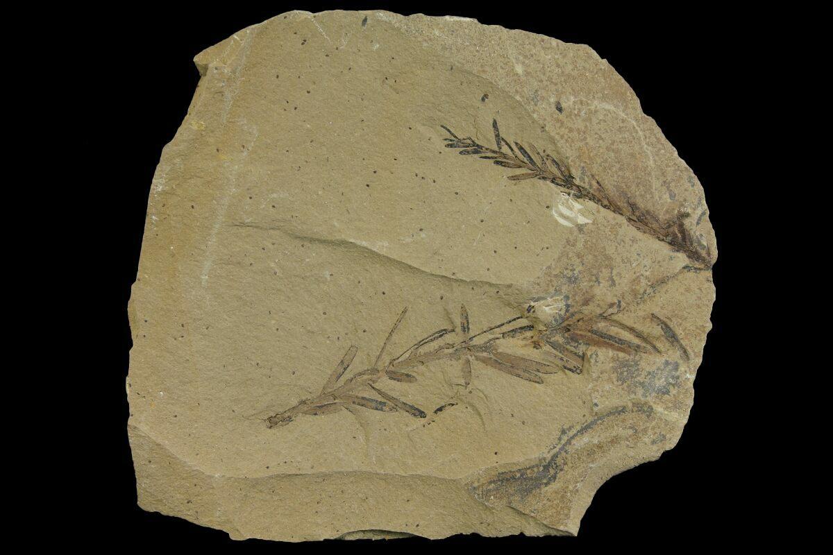 Dawn Redwood  Metasequoia  Fossils
