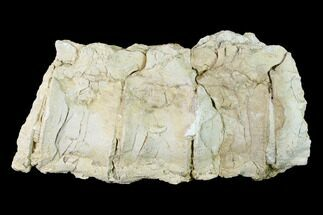 "Buy 9.9"" Articulated Plesiosaur (Trinacromerum) Vertebrae - Kansas - #143494"