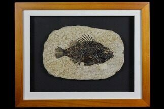 "Buy 4.6"" Framed Fossil Fish (Cockerellites) - Wyoming - #143761"