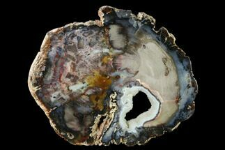 "Buy 8.4"" Hubbard Basin Petrified Wood Round With Crystal Pocket! - #143974"