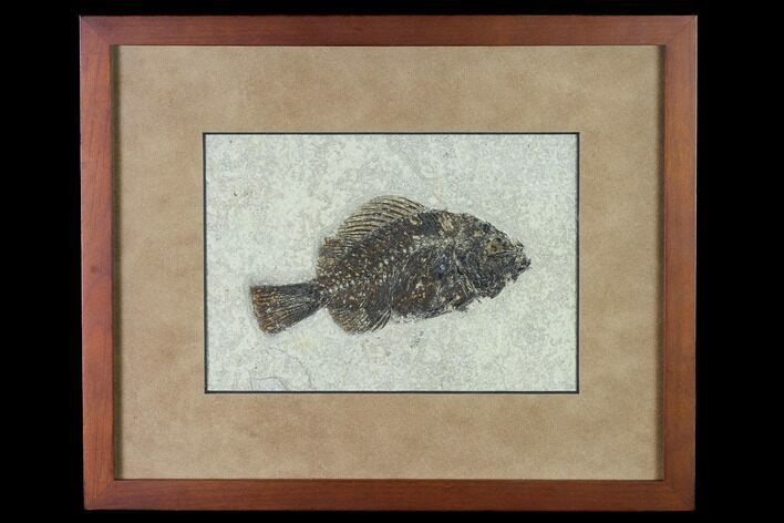 "4.95"" Framed Fossil Fish (Cockerellites) - Wyoming"