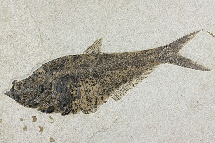 "Large, 16.9"" Fossil Fish (Diplomystus) - Wyoming"