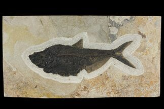 "18.9"" Fossil Fish (Diplomystus) From Wyoming For Sale, #144209"