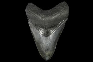 "Buy 4.75"" Fossil Megalodon Tooth - Georgia - #144292"