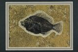 "4.25"" Framed Fossil Fish (Cockerellites) - Wyoming - #144131-2"