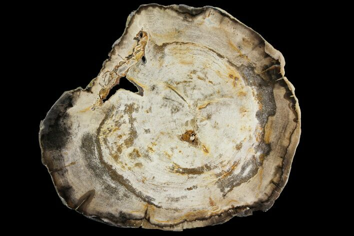 "11"" Polished Petrified Wood (Hickory) Round - Oregon"