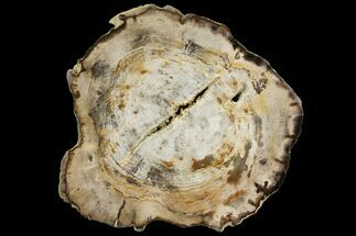 "10.2"" Polished Petrified Wood (Dicot) Round - Oregon For Sale, #144665"