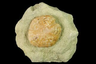 "Buy 1.1"" Sea Urchin (Lovenia) Fossil on Sandstone - Beaumaris, Australia - #144391"