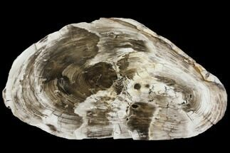 "Buy 17.2"" Petrified Wood (Cypress) Round - Saddle Mountain, WA - #143836"