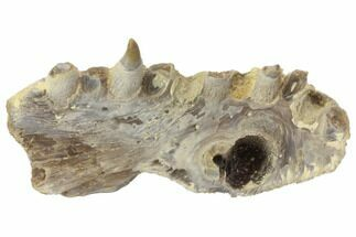 "2.6"" Fossil Fish (Ichthyodectes?) Jaw Section - Kansas For Sale, #144149"