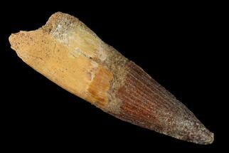 "Buy 2.09"" Spinosaurus Tooth - Real Dinosaur Tooth - #144991"