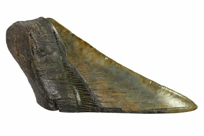 "5.4"" Partial, Fossil Megalodon Tooth ""Paper Weight"""