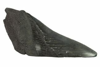 Carcharocles megalodon - Fossils For Sale - #144432