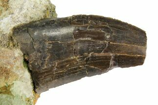 "1.35"" Serrated Tyrannosaur Tooth In Rock - Two Medicine Formation For Sale, #145028"