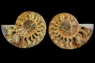 Cleoniceras - Fossils For Sale - #144108