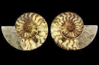 Cleoniceras - Fossils For Sale - #145212