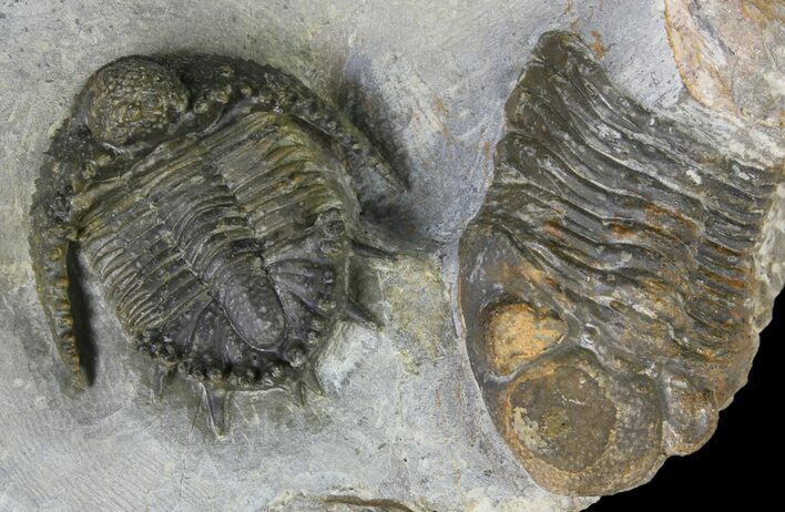 "1.3"" Akantharges Mbareki Trilobite - Tinejdad, Morocco"