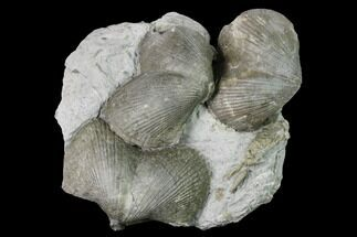 Pyrite Replaced Brachiopod (Paraspirifer) Fossils on Shale - Ohio For Sale, #145361