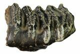 "4.6"" Partial Stegodon Molar - Indonesia - #146291-2"