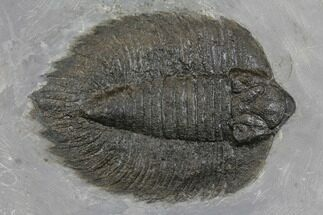"4.7"" Arctinurus Trilobite - Classic New York Trilobite For Sale, #147260"
