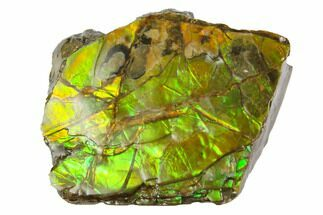 "1.05"" Iridescent Ammolite (Fossil Ammonite Shell) - Alberta, Canada For Sale, #147407"
