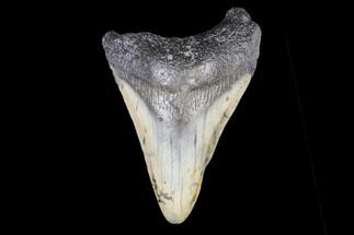 "2.64"" Juvenile Megalodon Tooth - North Carolina For Sale, #147755"
