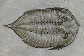 Dalmanites limulurus - Fossils For Sale - #147300