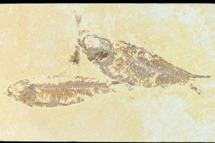 "4.4"" Fossil Fish (Knightia) - Wyoming"