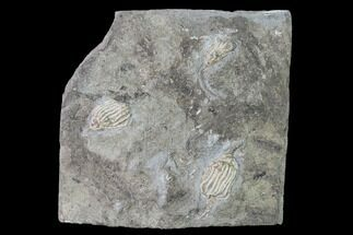 Buy Three Fossil Crinoids (Eretmocrinus) - Gilmore City, Iowa - #148690
