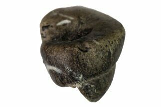 "Buy .3"" Cretaceous Fossil Alligatoroid (Brachychampsa) Tooth - Wyoming - #148825"