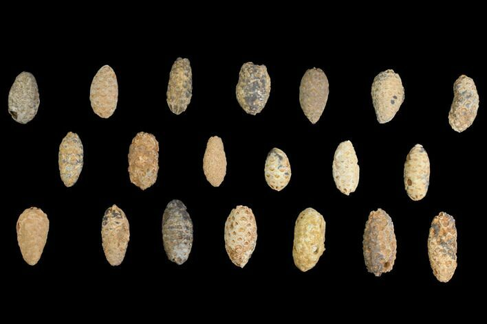Lot: Fossil Seed Cones (Or Aggregate Fruits) - 20 Pieces